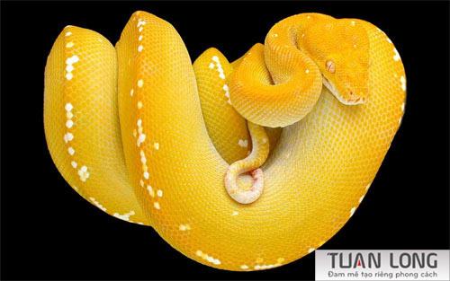 12-twelve-Yellow-Tree-Snake