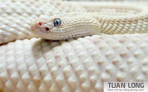 24-twentyfour-White-Snake