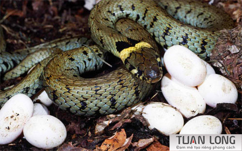 30-thirty-Snake-Eggs