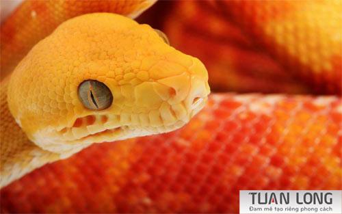 32-thirtytwo-Orange-Snake