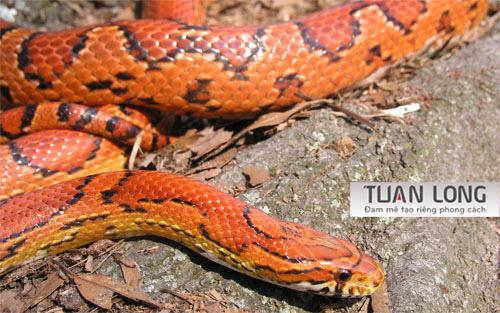 37-thirtyseven-Corn-Snake