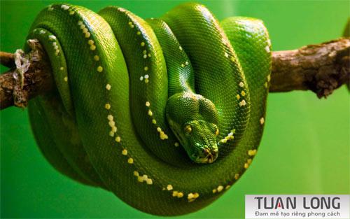 7-seven-Emerald-Tree-Python-Wallpaper