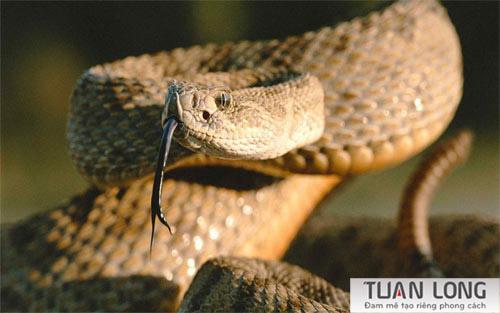 16-sixteen-Bandy-Snake