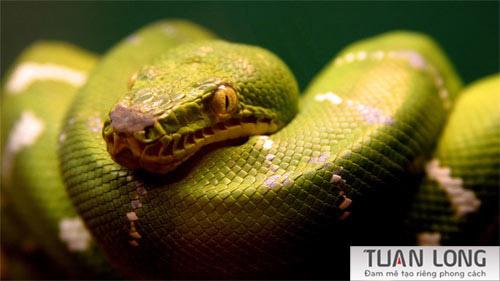 4-four-Snake-Green-Emerald-Boa-Wallpaper