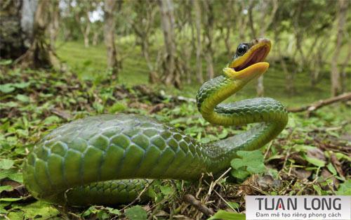 35-thirtyfive-yellow-rat-snake