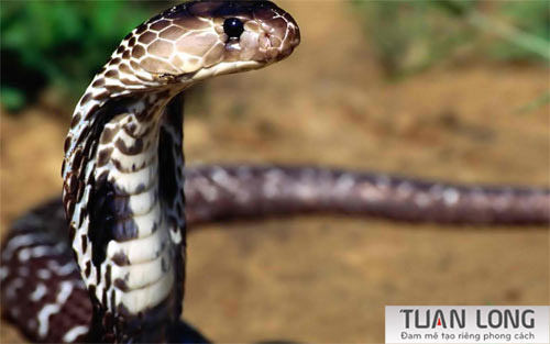 36-thirtysix-snake-wallpaper